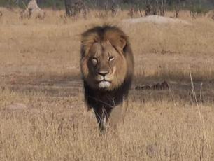 Myśliwy zabił Cecila – najsłynniejszego lwa na świecie