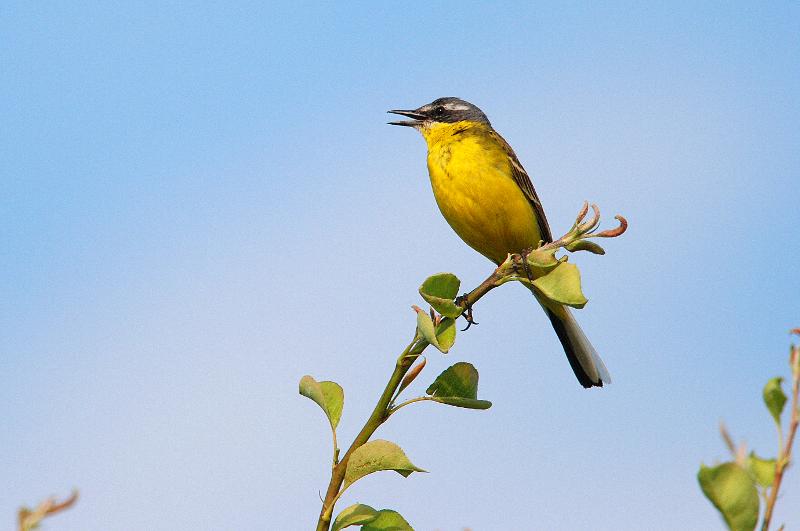 Pliszka żółta – mały ptak z rodziny pliszkowatych