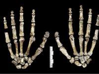 Homo naledi – nowy gatunek rodzaju Homo