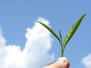 Na czym polega fenomen zielonej herbaty?