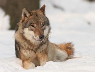 Wilki wróciły do Kampinoskiego Parku Narodowego