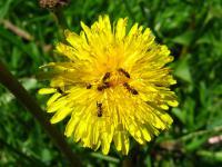 Zapylanie nie tylko dla pszczół