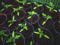 Siejemy pomidory – poradnik dla początkujących