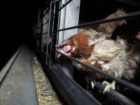 Nie kupujmy jajek oznaczanych numerem 3! Wywiad z Alicją Czerwińską ze Stowarzyszenia Otwarte Klatki