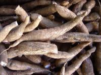 Maniok – tropikalny ziemniak