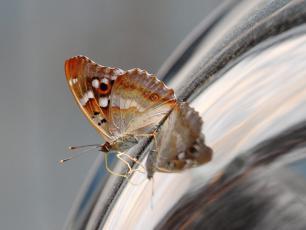 Mieniak strużnik – kameleon wśród motyli