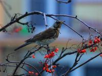 Kwiczoł - opis, występowanie i zdjęcia. Ptak kwiczoł ciekawostki