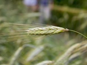 Krzyca – przyszłość upraw ekologicznych?