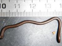 Na Karaibach mieszka najmniejszy wąż świata
