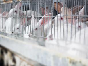 Czy dzieci poprawią los królików hodowanych na mięso?