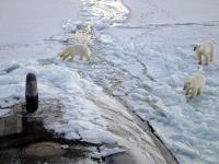 Niedźwiedzie polarne cierpią z powodu skażenia Arktyki
