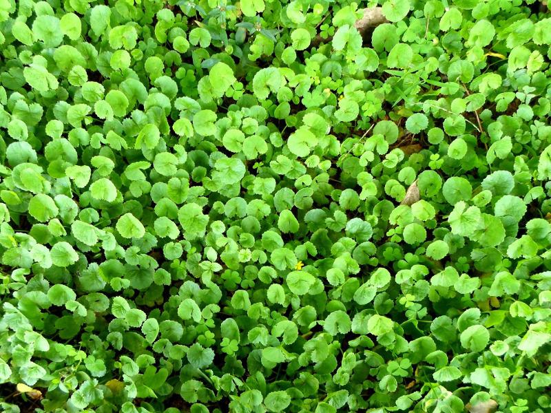 Wąkrota azjatycka - roślina, która zastąpi całą półkę kosmetyków