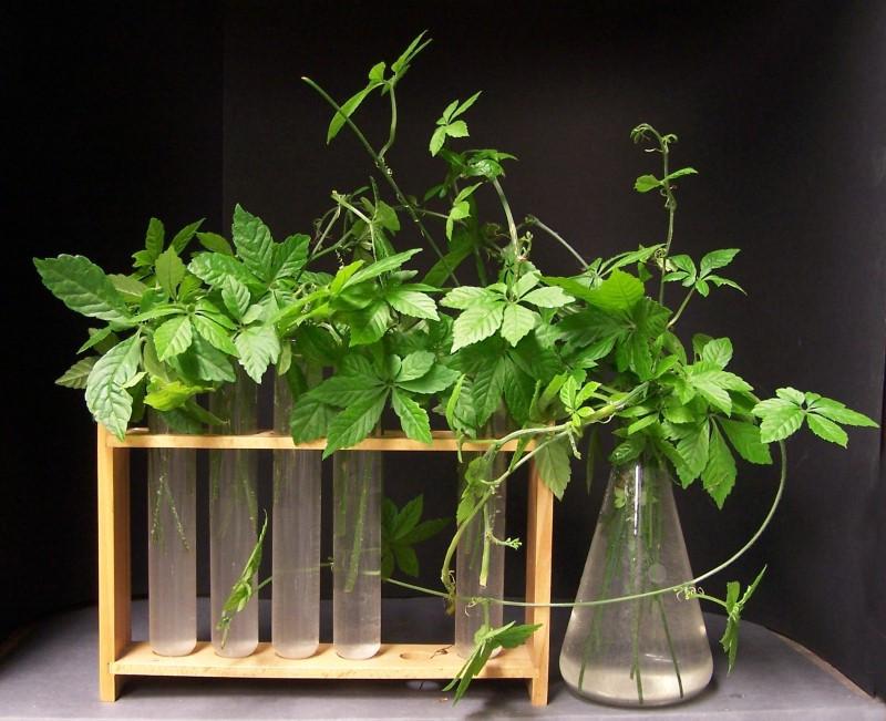 Jiaogulan – alternatywa dla zielonej herbaty?