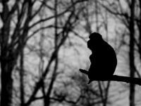 Magot gibraltarski – jedyna europejska małpa