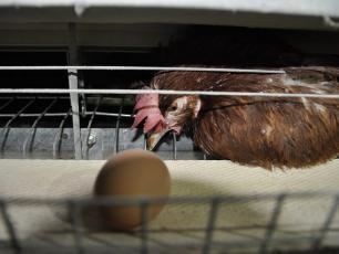 Auchan rezygnuje z jajek trójek!