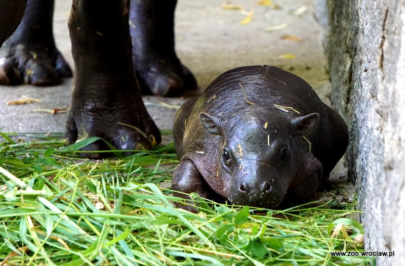 We wrocławskim zoo na świat przyszedł hipopotam karłowaty