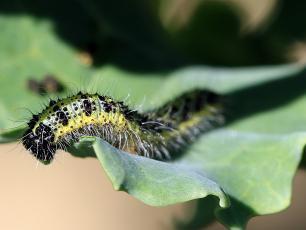 Te zioła zwalczają szkodniki i użyźniają glebę w ogrodzie