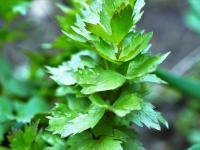 Lubczyk ogrodowy – zastąp nim niezdrowe przyprawy