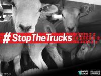 Poparcie społecznie dla zakończenia transportu żywych zwierząt