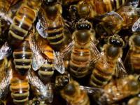 Neonikotynoidy szkodzą pszczołom!