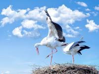 Bocian - legendarny ptak