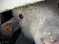 Transport żywych zwierząt - wyczerpane zwierzęta ciągnięte za szyje, szarpane za nogi i głodzone