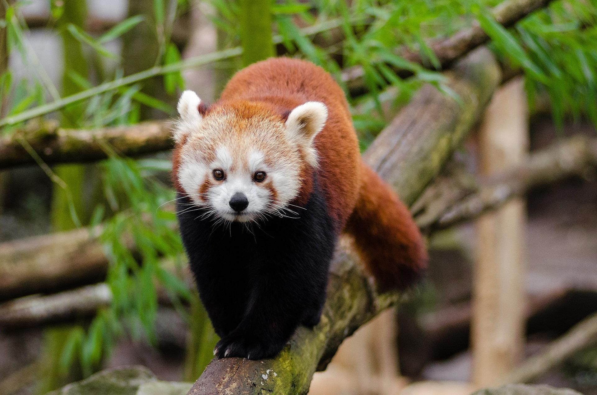 Jak duże są szanse na przetrwanie zagrożonych gatunków ssaków?