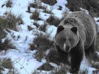 To ludzie przyczynili się do skurczenia się populacji niedźwiedzi