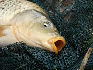Jaka ryba na święta?