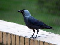Kawka - opis, występowanie i zdjęcia. Ptak kawka ciekawostki