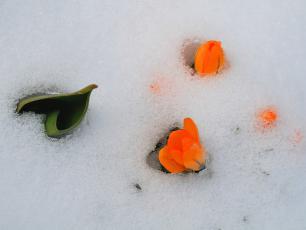 Jak chronić wiosenne kwiaty przed mrozem?