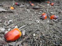 """Produkcja oleju palmowego to """"zbrodni przeciwko ludzkości"""""""