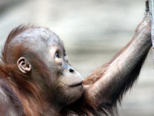 Dramatyczny spadek populacji orangutanów