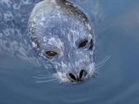 Foka pospolita - opis, występowanie i zdjęcia. Zwierzę foka pospolita ciekawostki