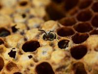 Kolejne dowody na to, że pestycydy szkodzą pszczołom