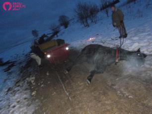 Kulig bez śniegu – koń upadł, ciągnąc sanie wyładowane pasażerami