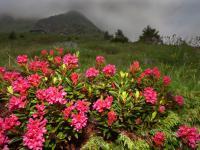 Rododendron (różanecznik) - jak uprawiać i pielęgnować rododendrony?