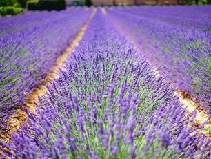 Lawenda – kolorowa, pachnąca i lecznicza