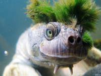 Punkowy żółw, który oddycha genitaliami