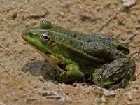 Żaba śmieszka - opis, występowanie i zdjęcia. Płaz żaba śmieszka ciekawostki