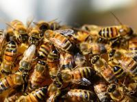 Trzy groźne dla pszczół neonikotynoidy zakazane