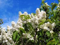 Krzewy ozdobne w ogrodzie - opis, wymagania i gatunki krzewów