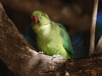 Czy egzotyczne papugi skolonizują Polskę?