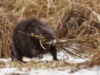 Tamy bobrów oczyszczają wodę