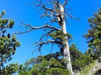 To jest najstarsze drzewo w Europie
