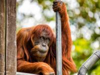 Nie żyje najstarszy orangutan na świecie