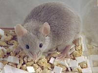 Eliksir młodości działa…na myszach
