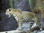 jaguar,Ameryka,ochrona,ssaki,kot,obserwacja,zwyczaje