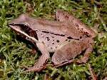 żaba,skrzek,drapieżnik,nauka,rozpoznawanie