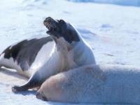 Żywy łańcuch w obronie fok